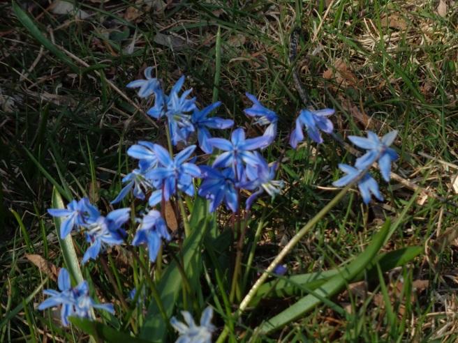 blue snowdrop.JPG
