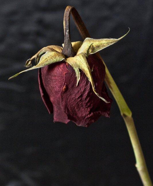 dead rose big.jpg