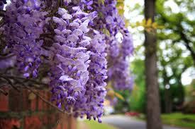 wisteria 2.jpg
