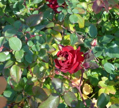 bee in rose