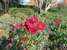 last roses of summer 2