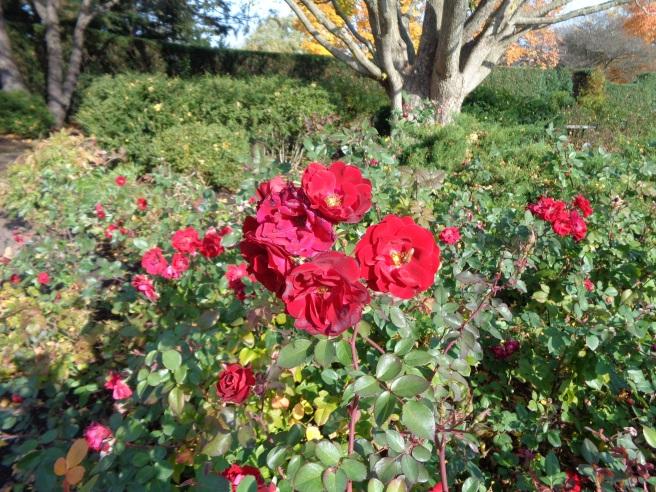 last roses of summer 2.jpg