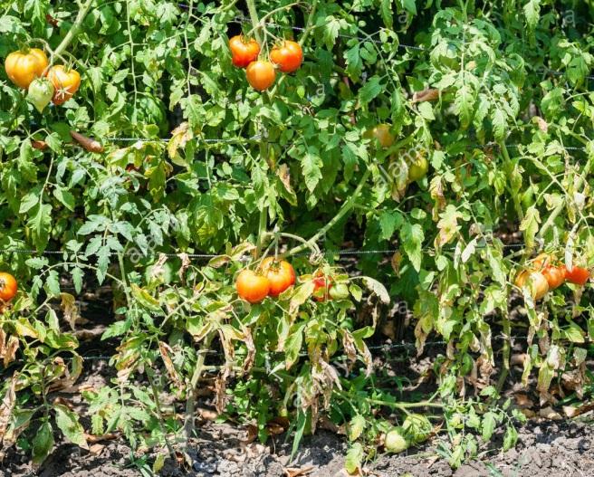 tomato bushes.jpg